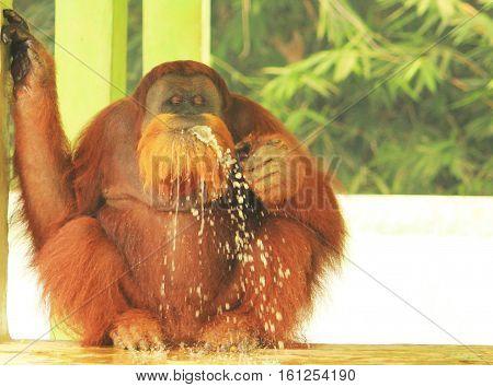 The Sumatran orangutan (Pongo abelli) is the rarest species of orang utans. Sumatran orangutans live and endemic to Sumatra, an island located in Indonesia
