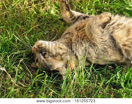 Cat that purrs lying on the back on lovely green grass