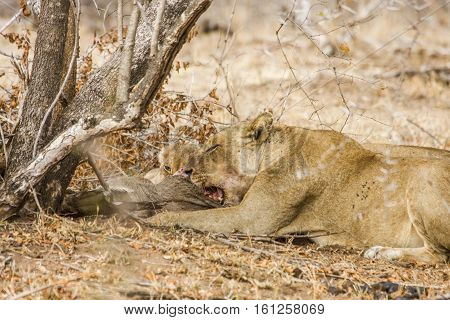 female lion and baby eating a dead warthog in the bush in Kruger Park
