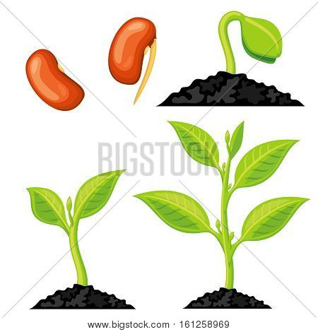 Plant growth stages from seed to sprout. Organic growing plant, nature green plant isolated. Vector illustration