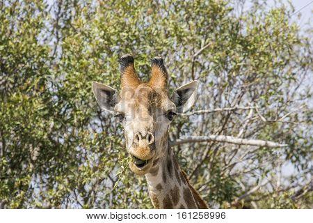 portrait of a giraffe making grimace in Africa