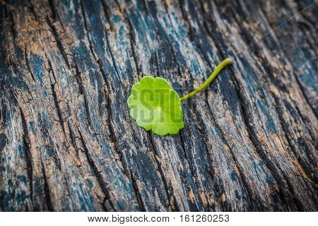 Green asiatic pennywort on old wooden table.