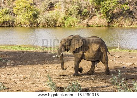 african bush elephant in the riverbank, Kruger Park, South Africa