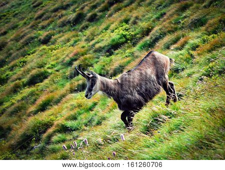 nature background chamois on a sloping hillside