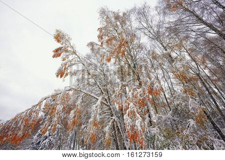 orange and yellow leaves in late fall or early winter under the snow. Snowcovered trees