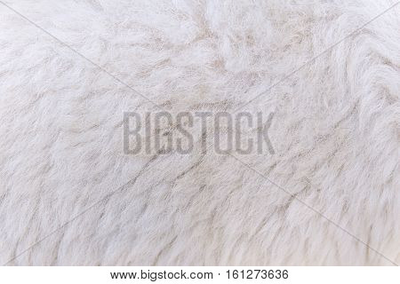Woolly Sheep Fleece For Background And Design