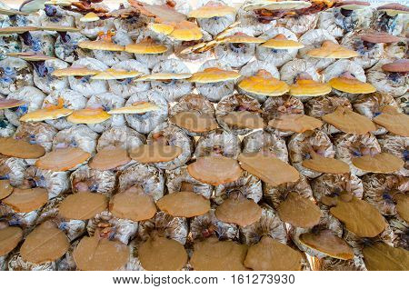 Lingzhi mushrooms Ganoderma Lucidum,the product of mushroom farm from Thailand