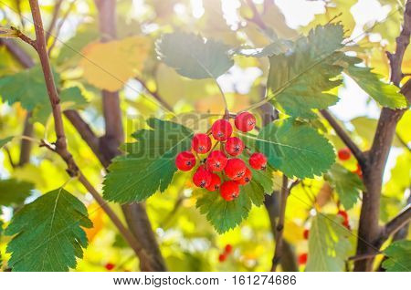 On the branches of a mountain ash are clusters of red ripe berries.
