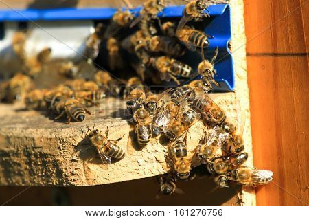 Swarm of bees working in the hive. Wild nature many insect