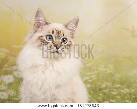 Pretty rag doll cat portrait with blue eyes on a flower spring background