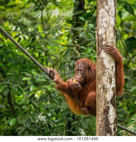 Female orangutan hanging on the rope in Semenggoh Nature Reserve, Sarawak, Borneo, Malaysia