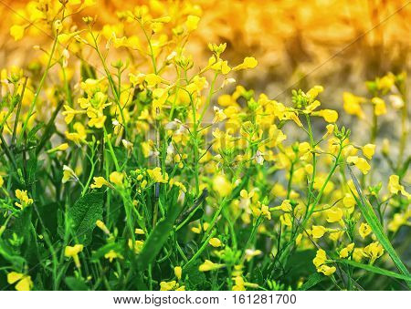 Blurred floral background - yellow meadow flowers of bittercress closeup in the sunlight.