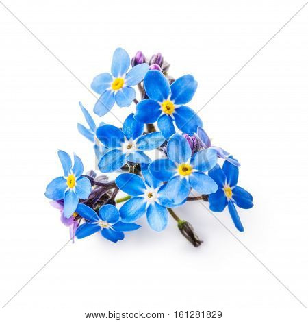 Blue forget me not flowers bunch isolated on white background clipping path included
