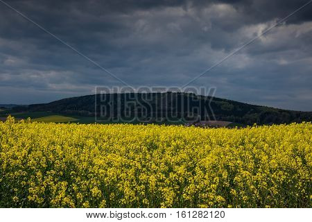 Colza Fields Of Lower Saxony , In Germany