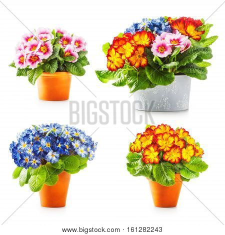 Spring primrose flowers. Flowerpots with colorful primula bunch collection isolated on white background