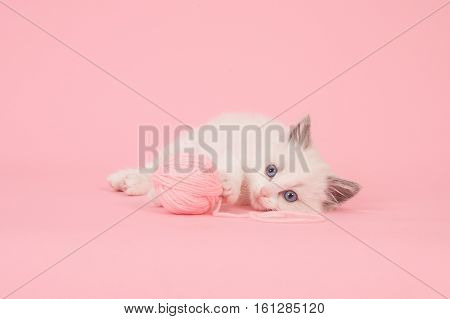 Cute longhair baby ragdoll cat lying down on the floor with a ball of pink wool on a pink background