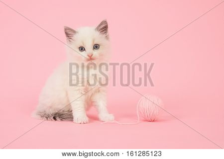 Cute longhair baby ragdoll cat sitting with a ball of pink wool on a pink background