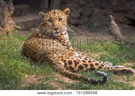 Male Indian leopard at an Indian zoo. Leopards amongst most wild animals are fast and uses stealth to stalk it's prey.