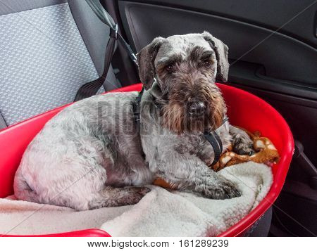A rare breed Cesky terrier in his basket in the back of a car and secured by a safety harness attached to a seat belt.