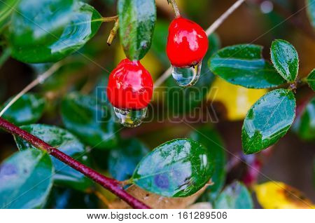 beutiful red berry with waterdrop hanging down from it