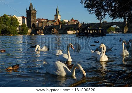 Cruise in Prague A Cruise Boat Between a Herd of Swans and Charles Bridge in a Romantic Scenery on Vltava River in Prague travel destination