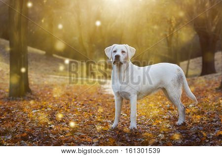 young cute labrador retriever dog puppy stands in the sundwon with fireflies around