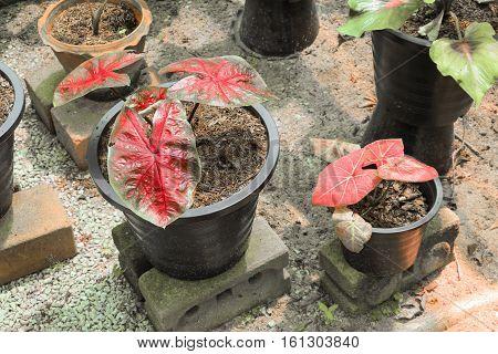 Caladium bicolor beautiful  potted in the garden