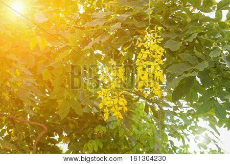 Cassia fistula.Golden Shower Tree with sunset light tone.