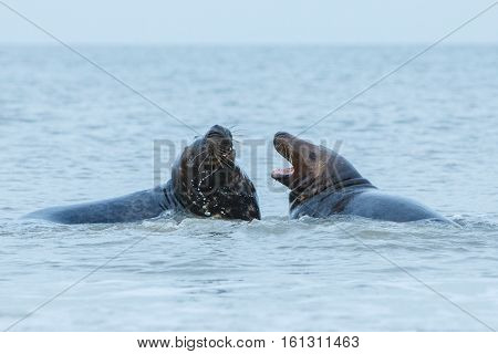 seals fight in the water on dune island near helgoland, wild ocean, marine wildlife, germany, helgoland and dune, a lot of seals, new life comes