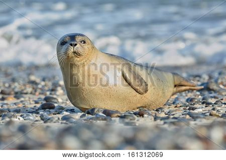 very cute seal on the beach on dune island near helgoland, wild ocean, marine wildlife, germany, helgoland and dune, a lot of seals, new life comes