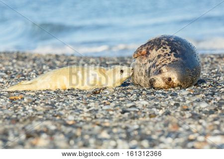 very cute seals on the beach on dune island near helgoland, wild ocean, marine wildlife, germany, helgoland and dune, a lot of seals, new life comes