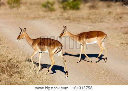 Young female impala antelopes in safari park in South Africa