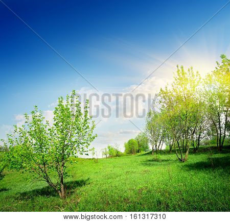 Young trees and green lawn in spring