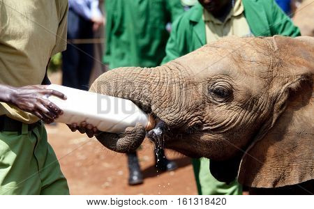 Orphaned elephant calf being fed in elephant orphanage in Nairobi, Kenya