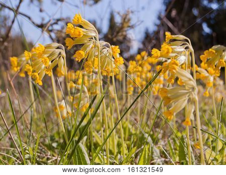 Common cowslip (Primula veris) in blossom at springtime in meadow, Estonia.