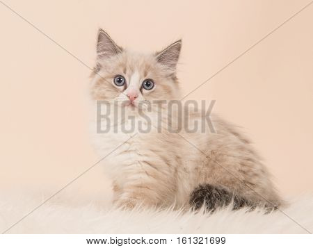 Pretty fluffly rag doll baby cat kitten sitting facing the camera seen from the side on a creme white background