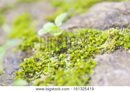 bryophyta or moss on the rock , moss