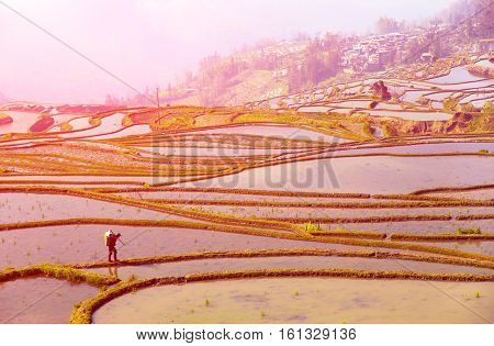 Scenery of rice terraces in Yunnan province of China and local peasant walking at morning sunrise
