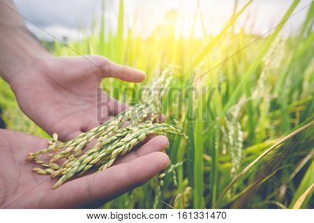 Agriculture/ Old hand tenderly touching a young rice in the paddy field