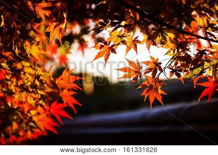 Red Maple Leaves Touching Sunlight