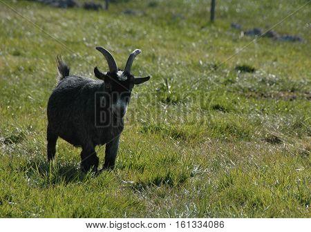 Little black goat in a grassy field
