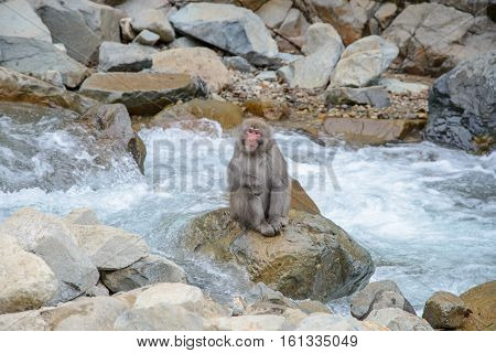 Monkey In A Natural Onsen (hot Spring), Located In Jigokudani Monkey Park.or Snow Monkey, Nagono Jap