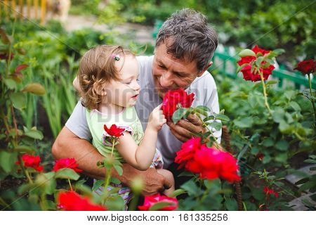 Cute little girl touching flower with grandfather in garden of roses
