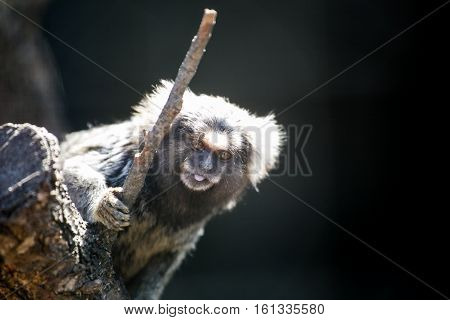 Close up image of a marmoset monkey in a cage at a monkey reserve.