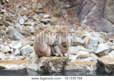 Monkey in Jigokudani Monkey Park or Snow Monkey Grooming: It very relaxing time for the monkey they are looking for lice and it egg at the root of their hairs in oder to remove them. Nagono Japan.