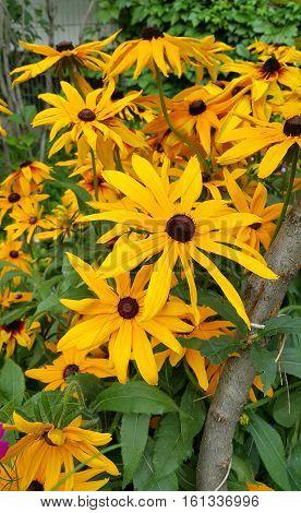 Bunch of bright yellow flowers of beautiful Rudbeckia