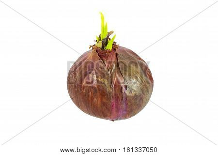 Red onion with green sprout isolated on white background