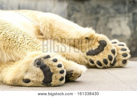 Paws of polar bear. Ursus maritimus. Wild arctic animal