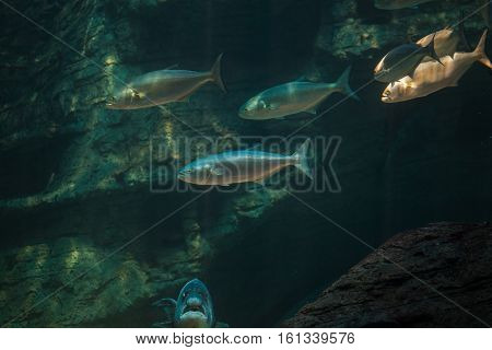 Close up of shad / elf / tailor / bluefish swiming in the ocean hunting small bait fish