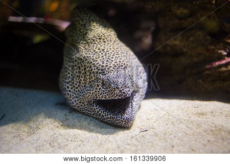 Honeycomb maray eel sitting in its cave on a coral reef